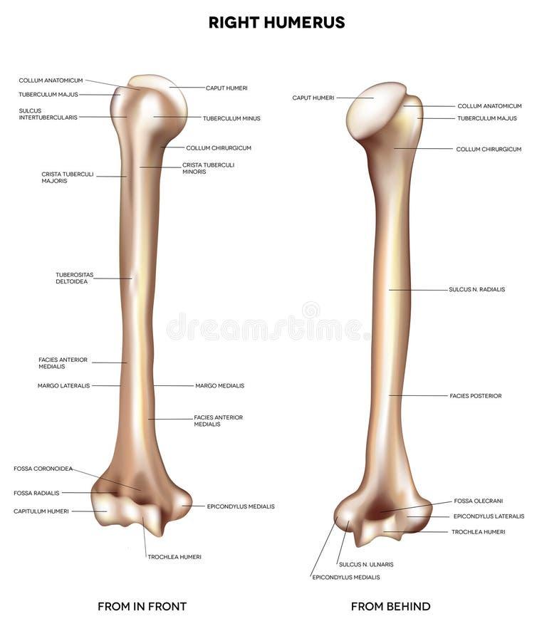 Humerus górnej ręki kość ilustracji