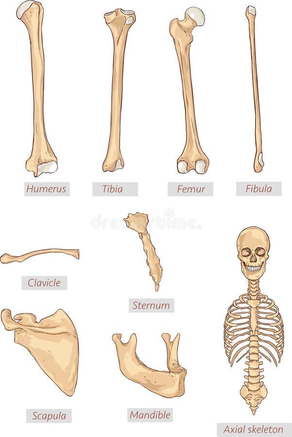 Humerus, piszczel, femur, fibula, clavicle, mostek, scapula, żuchwa, osiowy kościec wyszczególniał medyczne ilustracje Łacińscy m royalty ilustracja