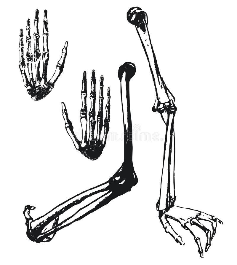 humerus, ulna i ręki kości, royalty ilustracja