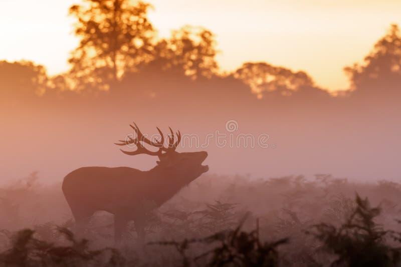 Humeurig silhouet van het Rode elaphus van Cervus van het Hertenmannetje bugling stock foto's