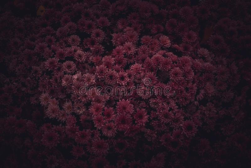 Humeurige Bloemen donkere achtergrond Mystieke Donkerrode purpere bloem op zwarte achtergrond stock foto