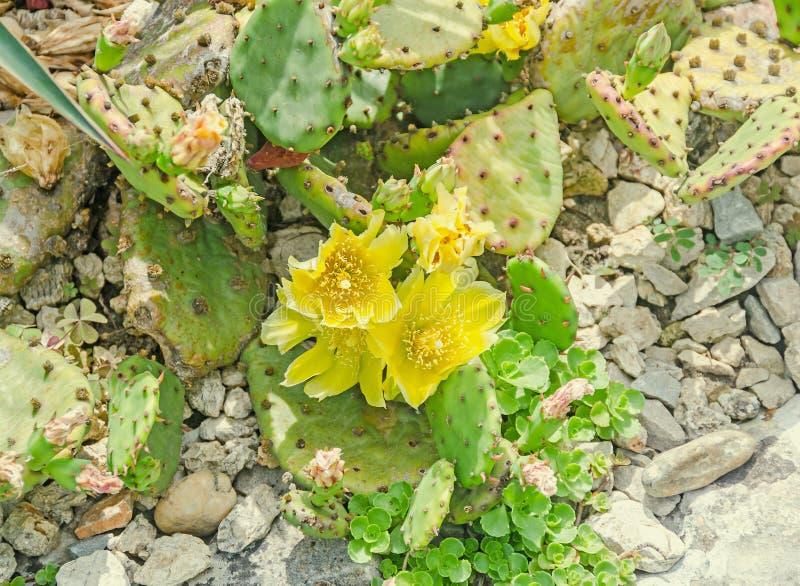 Humifusa amarillo de la Opuntia de la flor, la lengua de los diablos fotografía de archivo