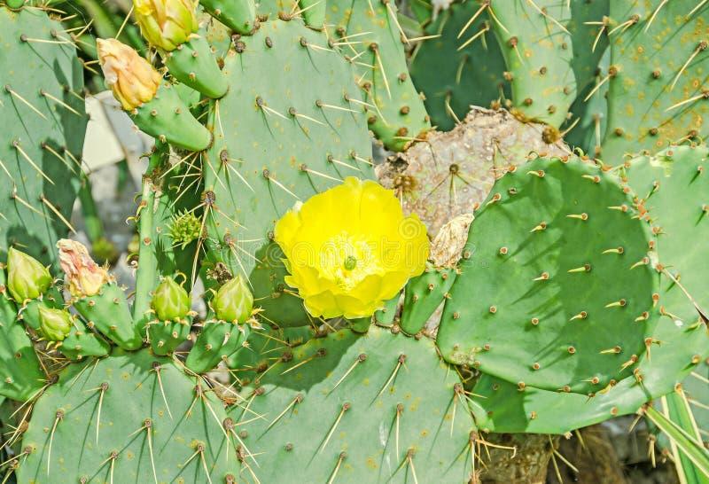 Humifusa amarillo de la Opuntia de la flor, la lengua de los diablos fotografía de archivo libre de regalías