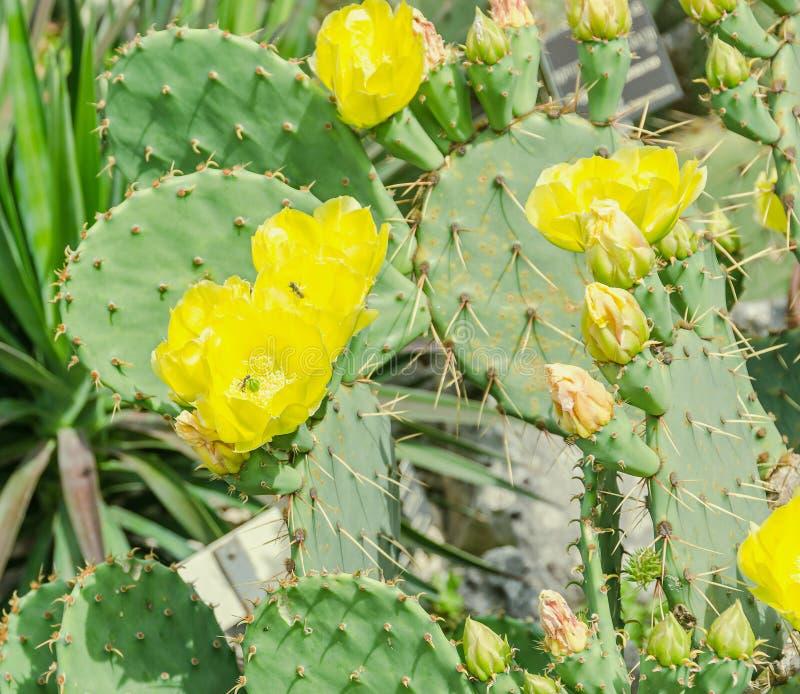Humifusa amarillo de la Opuntia de la flor, la lengua de los diablos, pinchazo del este imágenes de archivo libres de regalías