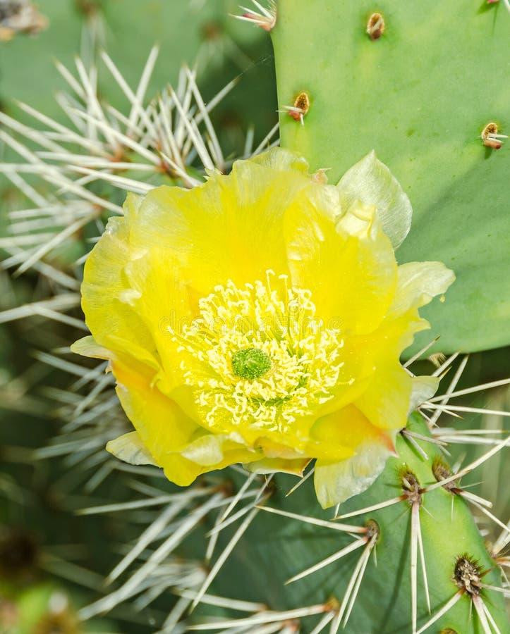 Humifusa amarillo de la Opuntia de la flor, la lengua de los diablos, pinchazo del este fotografía de archivo