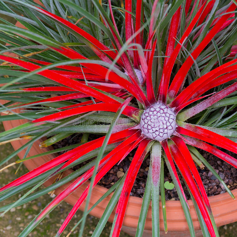 Humilis de la bromelia rojo-coloreados con la inflorescencia fotografía de archivo libre de regalías