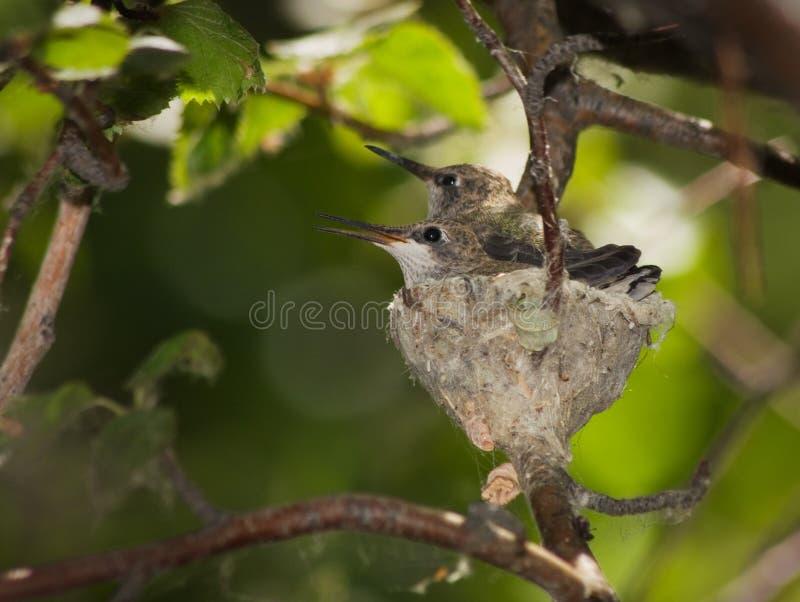Humingbird rede royaltyfri bild