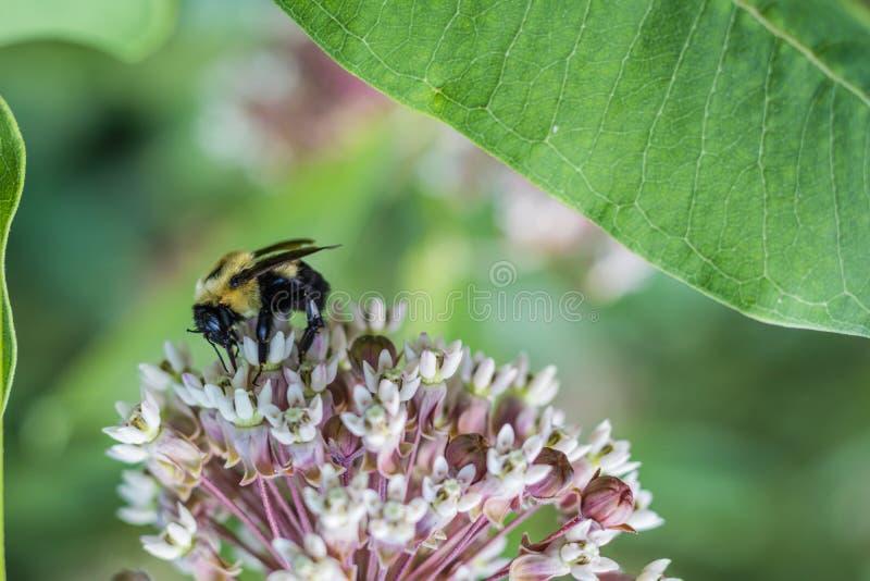 Humla Bombus, matningar på den rosa gemensamma milkweeden, Asclepias, på en sommarmorgon royaltyfria bilder