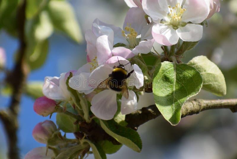 Humla i ett blommande äppleträd royaltyfri bild