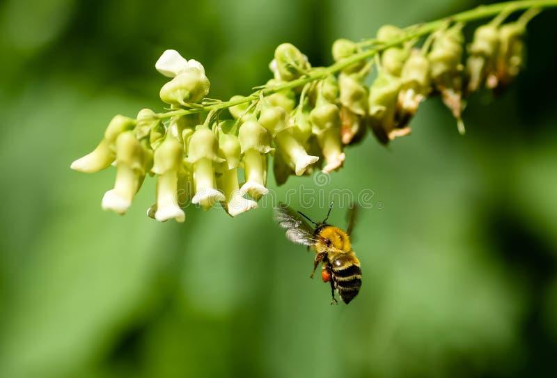 Humla i flykten som samlar och transporterar pollen i en orange pollenkorg royaltyfria foton