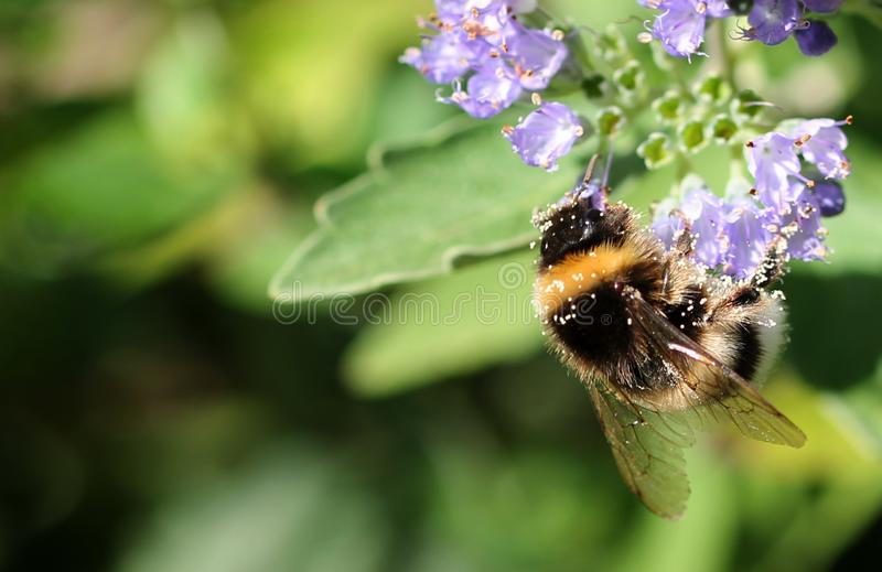 Humla med pollen royaltyfri bild