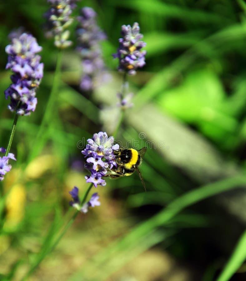 Humla mellan Levander blommor fotografering för bildbyråer