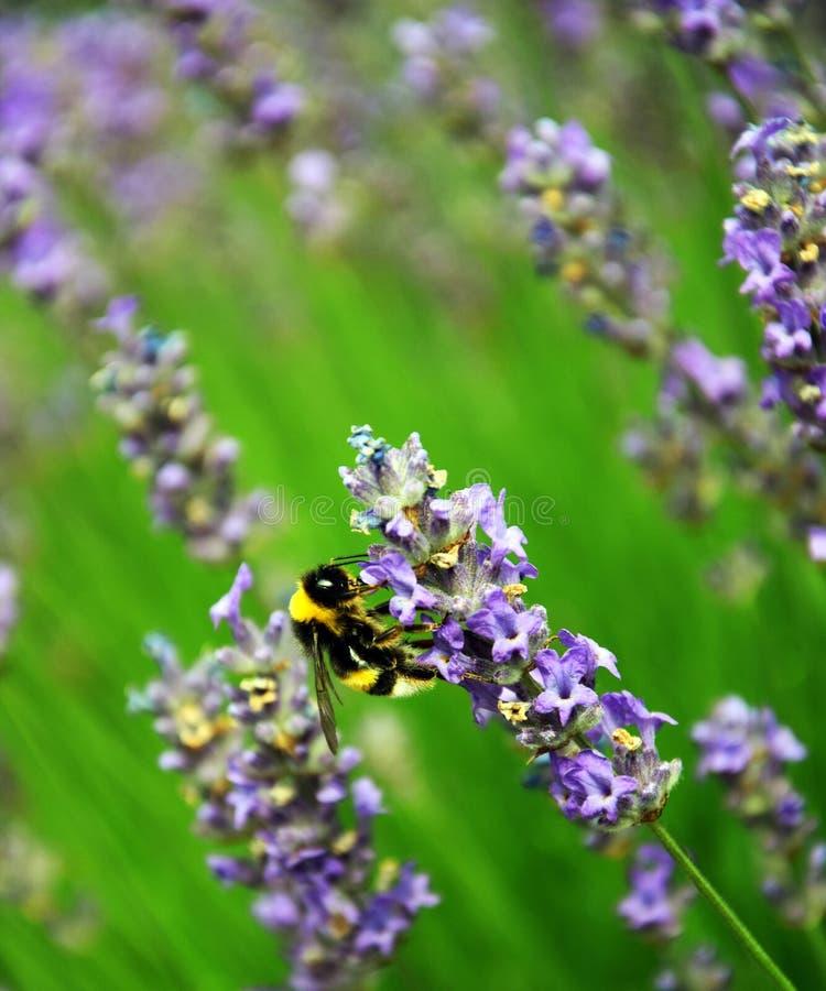 Humla mellan Levander blommor arkivfoton