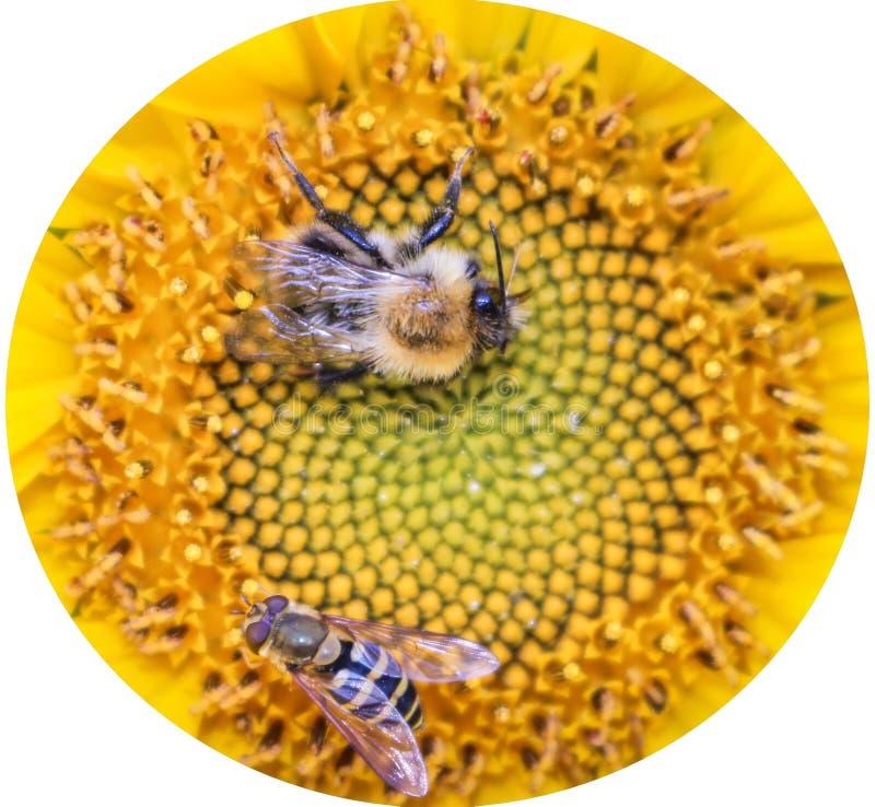Humla och bi på en härlig gul solros arkivbild