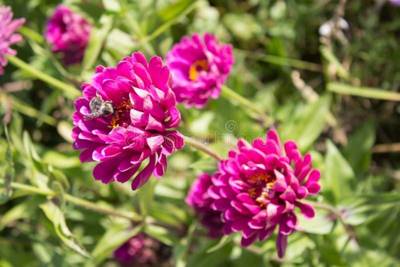 Humla och blommor royaltyfri fotografi