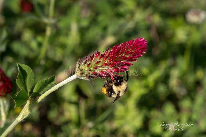 Humla på att luta blom för karmosinröd växt av släktet Trifolium royaltyfri fotografi