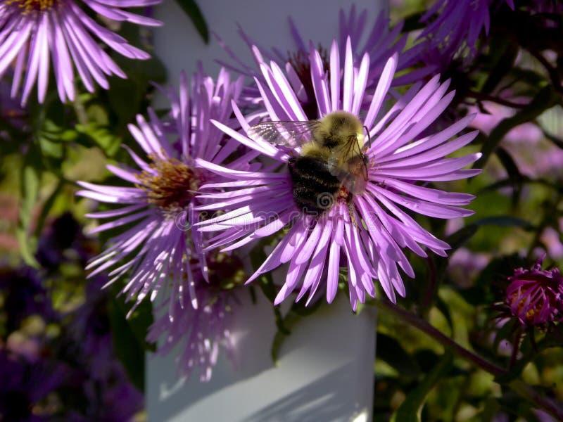 Humla på en purpurfärgad blomma royaltyfri foto