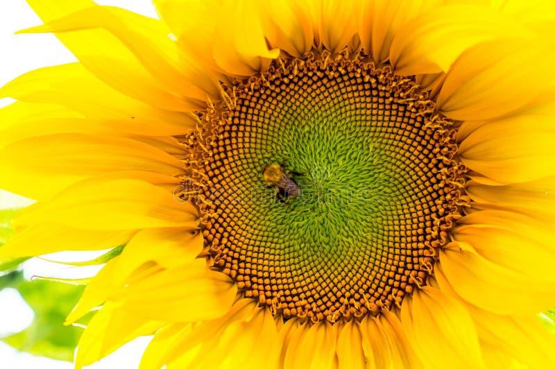 Humla på solrosen Natur djurliv royaltyfri foto