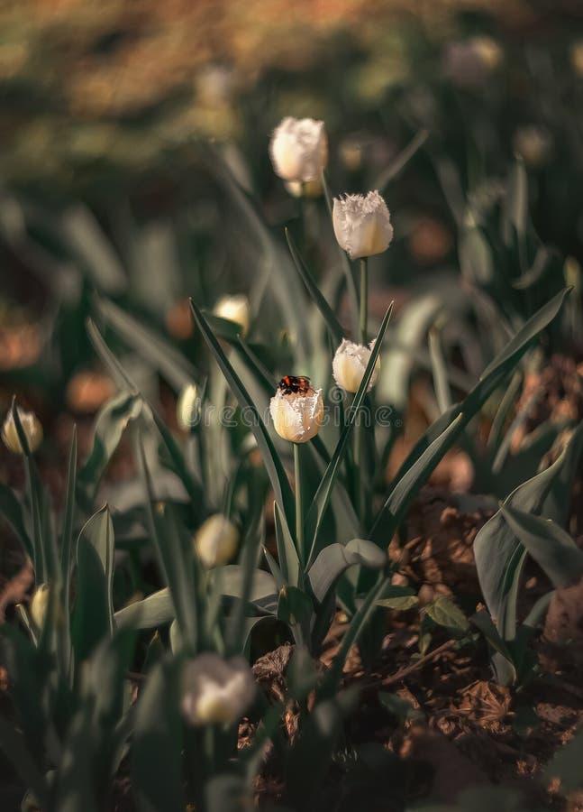 Humla på vita tulpan V?r arkivfoto