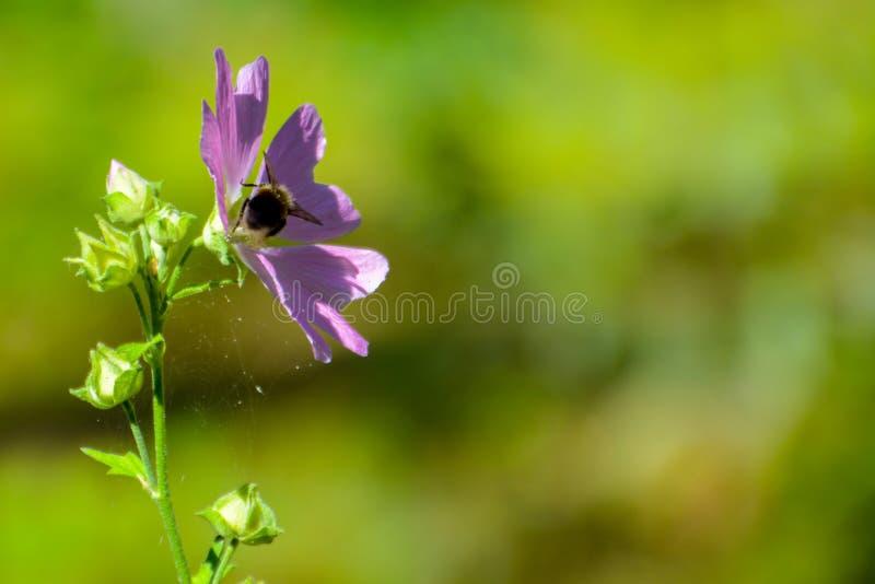 Humla p? en blomma arkivfoto