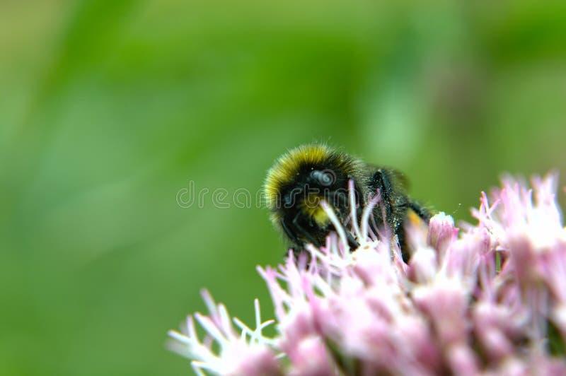 Humla p? en blomma fotografering för bildbyråer