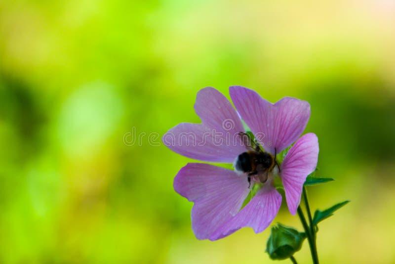 Humla p? en blomma royaltyfria bilder