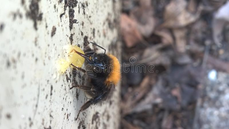 Humla som äter honung royaltyfri foto