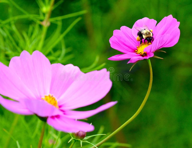 Humla som pollinerar en purpurfärgad blomma royaltyfria foton