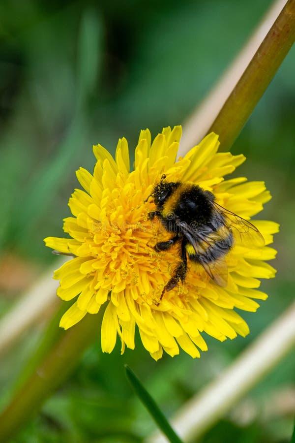 Humla som samlar nektarpollen fr?n den l?sa blomman f?r gul maskros arkivbilder