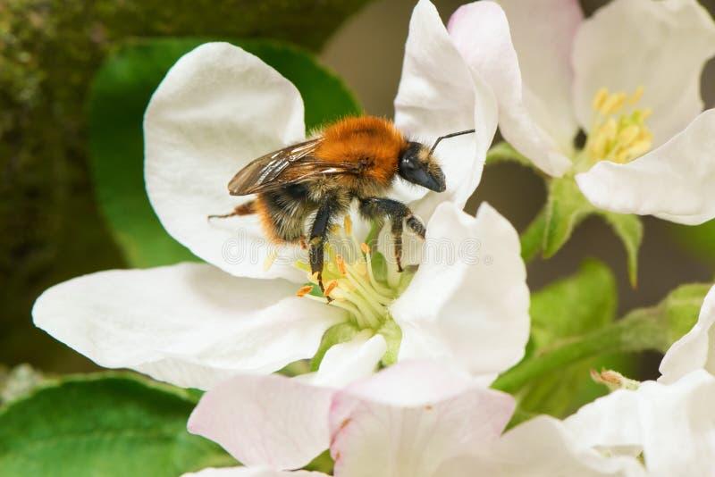 Humla som samlar pollen från blomman för äppleträd i en vår royaltyfri fotografi