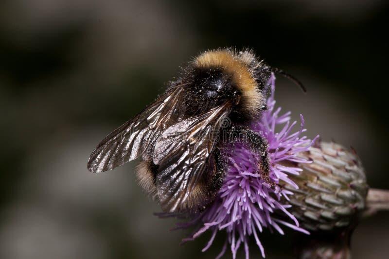 Humlan är annalkande nektar från en tistelblomma Djur i djurliv arkivfoton