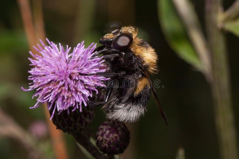 Humlan är annalkande nektar från en tistelblomma Djur i djurliv fotografering för bildbyråer