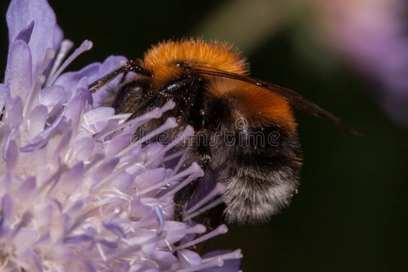 Humlan är annalkande nektar från knautiablomman Djur i djurliv arkivbilder
