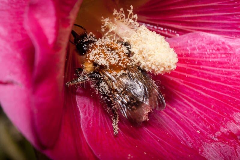 Humlan är annalkande pollen från den purpurfärgade malvablomman Djur i djurliv royaltyfri foto
