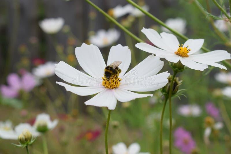 Humlan i ett fält samlar nektar från en vit blomma royaltyfri foto