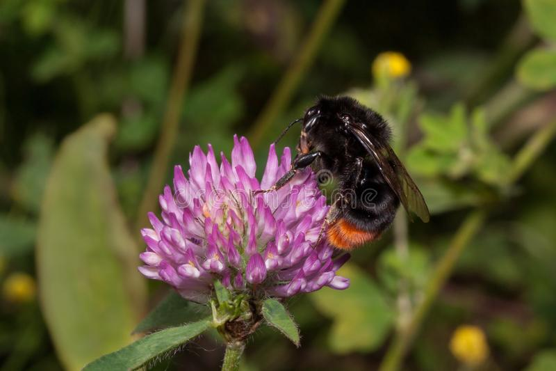 Humlan samlar nektar från en blommande växt av släktet Trifolium Trifoliumpratense arkivfoton
