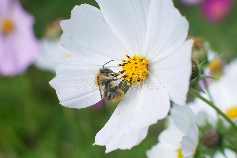 Humlan sitter p? den vita blomman i sommar arkivfoton