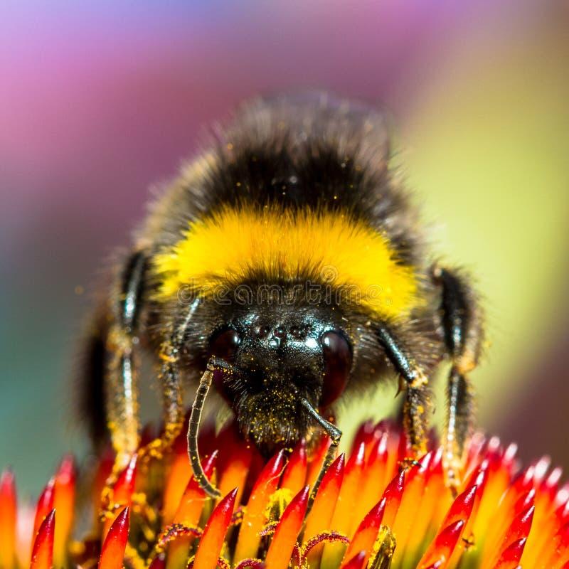 Hummel auf einer Blumenstirnseitennahaufnahme lizenzfreies stockfoto