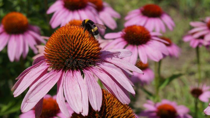 Hummel auf einer purpurroten Blume an einem sonnigen Tag stockbild