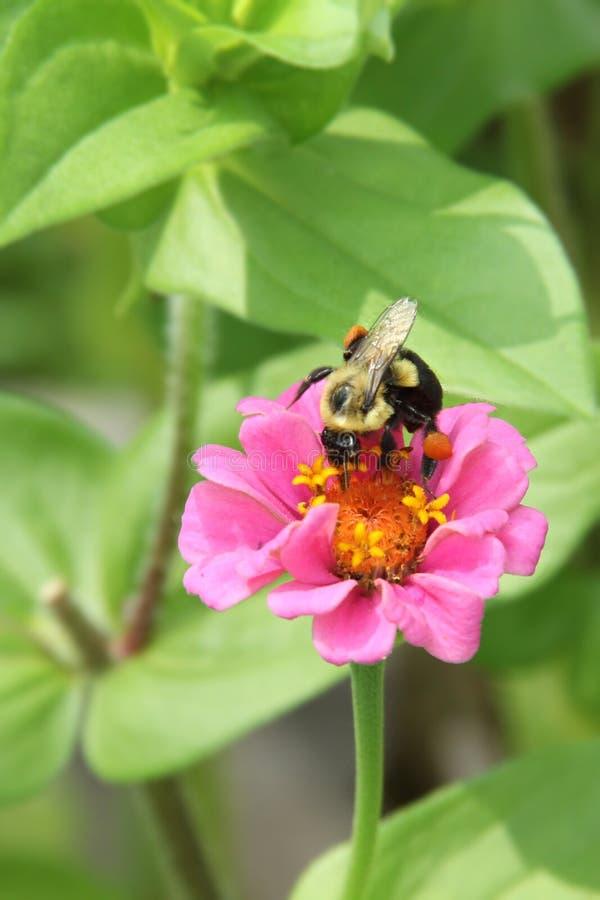 Hummel auf einer rosa Zinnia-Blume stockbilder