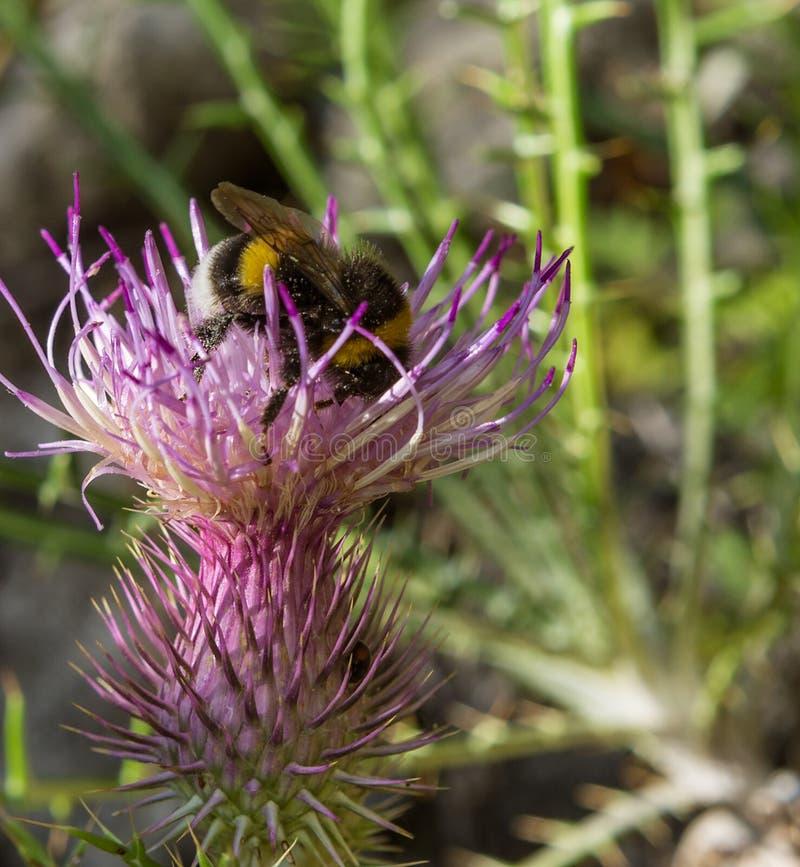 Hummel auf einer Sommerblume stockfoto