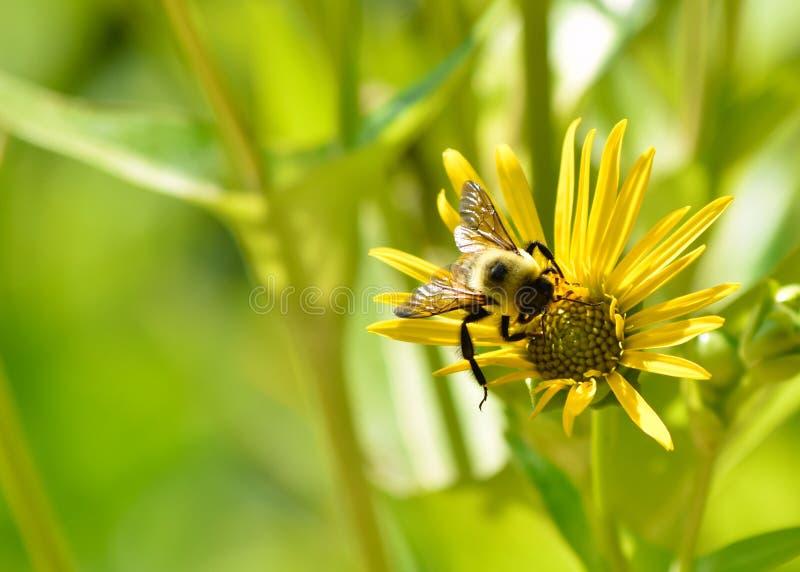 Hummel auf einer Sonnenblume am Schmetterlings-Garten lizenzfreies stockbild