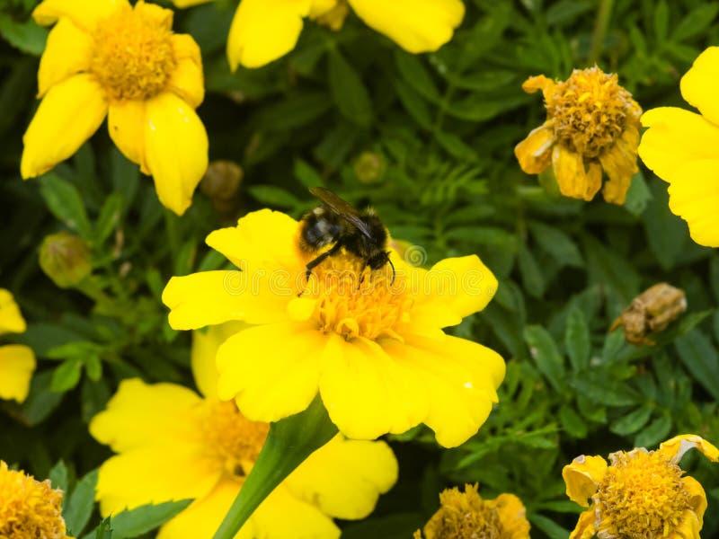Hummel auf gelber Blume des Jugend-und-Alters, Zinnia elegans, Makro, selektiver Fokus, flacher DOF lizenzfreie stockfotografie