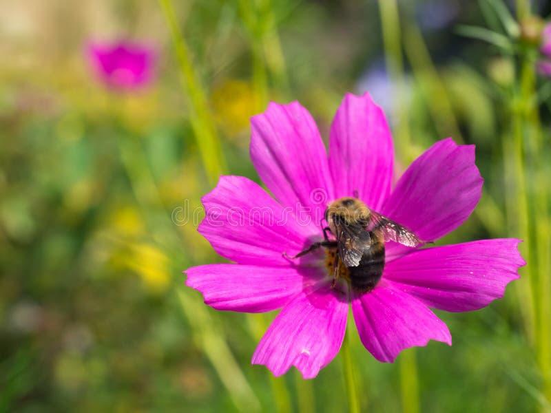 Hummel auf heller rosa Blume am Wellenhügelgarten stockfoto