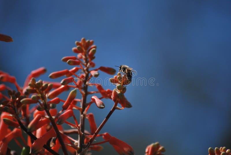 Hummel auf roter Blume lizenzfreies stockfoto