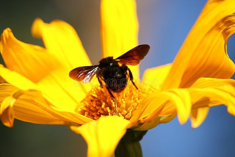 Hummel in der gelben Blume stockfoto