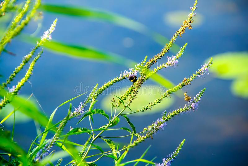 Hummel, die auf dem Gras nahe dem Wasser sitzt stockfotografie