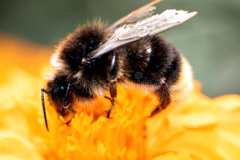 Hummel, die auf einer Blume, Makrofoto sitzt stockbilder
