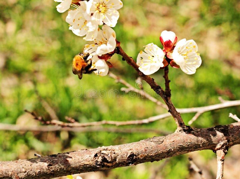 Hummel, die auf einer Blume sitzt stockfotografie