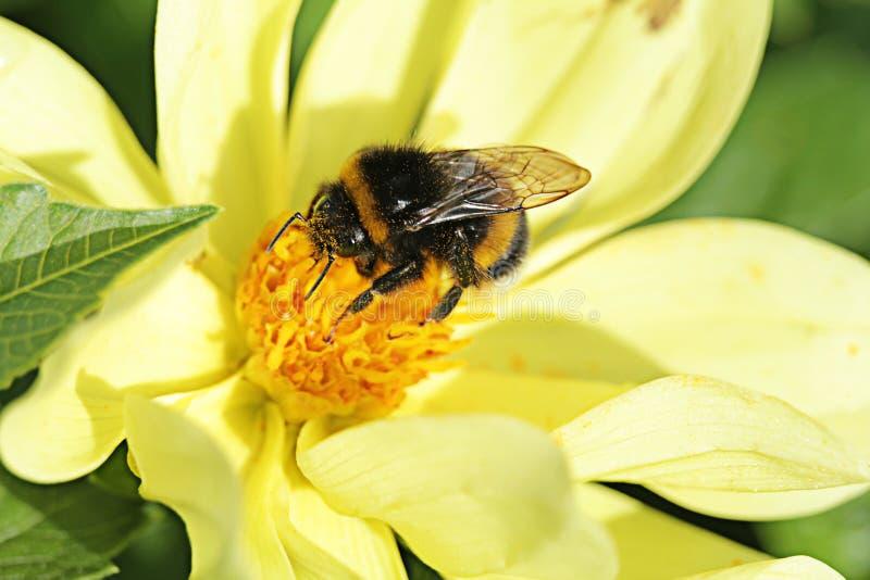 Hummel, die auf gelber Blume am Sommertag sitzt lizenzfreies stockbild